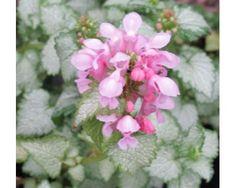 Lamium maculatum Pink Pewter (1lt)