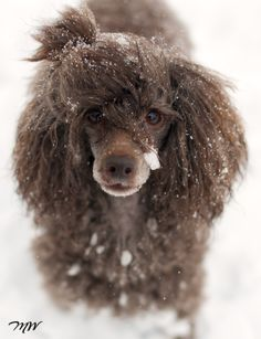 She's a happy girl in the snow! #dogs #pets #Poodles facebook.com/sodoggonefunny