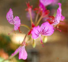 Pelargonium endlicherianum