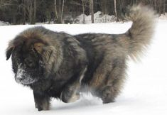 There is the fact that the Russian bear dog can grow as big as a tiger. There is no doubt in this fact, because of this these are well known as protectors or guarding dogs. Their size can be nearly 30 inches. Russian Cat Breeds, Russian Bear Dog, Huge Dogs, I Love Dogs, Caucasian Shepherd Dog, Protective Dogs, Mountain Dogs, Beautiful Dogs, Best Dogs