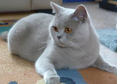 Blue British shorthair cat.... makes me want another cat. Haha.