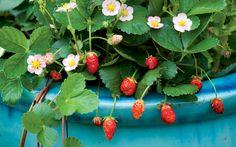 How to Grow Fruit in Pots