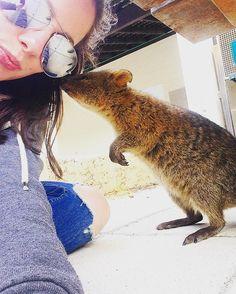 Quokka kisses #quokka #rottnestisland #perth #wa #australia by amandaheuston http://ift.tt/1L5GqLp