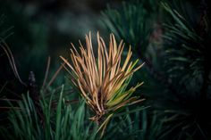 Fiery pine deep in the forest by Glanfor on Etsy