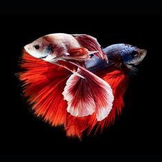 Stunning Portraits of Colorful Siamese Fighting Fish. Visarute Angkatavanich gets incredibly close up to capture these stunning portraits of Siamese fighting fish in graceful, dancerly poses. The Thai photographer uses perfectly placed lighting to create the dramatic highlights and shadows that give personality to each little finned creature.