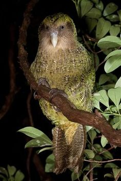 The Kakapo is a relatively large, flightless, nocturnal, ground dwelling parrot of New Zealand. Critically endangered, a population of 130 remaining is estimated. Has a highly developed sense of smell.