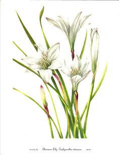 Flower Print - Atamasco Lily - Vintage Art Print - Botanical Book Plate, Print - Wild Flowers of America - Trillium - Mary Vaux Walcott