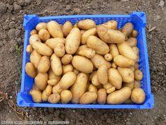 GARDEN blog - Κηπουρέματα: Ξεχάστε το σκάψιμο για καλλιέργεια Πατάτας. Καλλιέ...