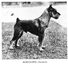 Pietoro uploaded this image to 'Dog Breed Historical Pictures/Schnauzer'. See the album on Photobucket.