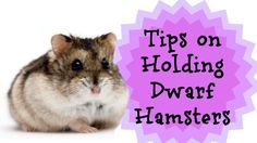 TIPS ON HOLDING DWARF HAMSTERS! More