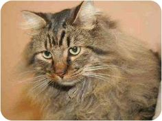 Maine Coon -- my Dusty cat (16) looks just like this ;)