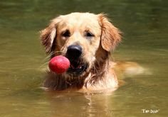 Doing what he does best– retrieving his toy. #Goldenretriever