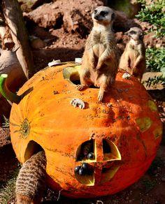 Les zoos offrent tous les ans des citrouilles à leurs animaux. Les suricates du zoo de Leipzig en sont friands.