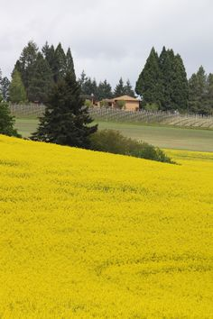 Canola field with vineyard in background near Banks, Oregon.