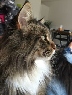 Savo! Beautiful Maine Coon!