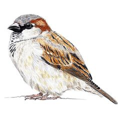 Funny Drawings Pencil Ideas For 2019 Birds Painting, Funny Drawings, Art Painting, Animal Art, Animal Drawings, Sparrow Art, Drawings, Watercolor Bird, Bird Art