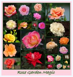 Rose variety from Cantigny Parks and Gardens, Winfield Illinois.