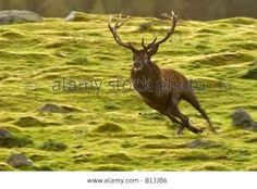 Image result for stag running