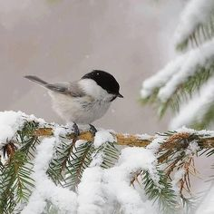 Country Winter - Bird and Snow - Black capped Chickadee. Pretty Birds, Love Birds, Beautiful Birds, Animals Beautiful, Snow Scenes, Winter Scenes, Animals And Pets, Cute Animals, All Nature