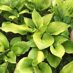 Blog.Sunset Hosta Farm.com: What Are Sun Tolerant Hostas? Landscaping Plants, Garden Plants, Sun Hostas, Hosta Varieties, Hosta Gardens, Home Exterior Makeover, Leaf Coloring, Shade Plants, Gardens