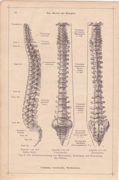 Vintage Medical Page, Anatomical Diagram, Medical Page for Framing, Spinal Cord, Human BONES, 1930s,German Anatomy, Medical Illustration,