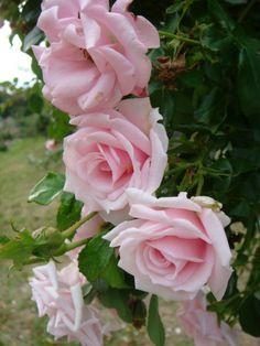 Cerca de rosas