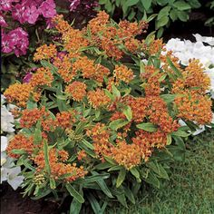 Butterfly Flower is a native perennial with orange blooms in summer, irresistible to butterflies and hummingbirds and very easy to grow.