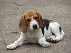 beagle | Razas de perros: Beagle Harrier