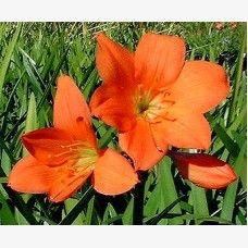 Cyrtanthus elatus - Scarborough Lily (Vallota)