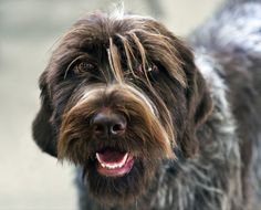 German Wirehaired Pointer Information - Dog Breeds at thepetowners Gsp Puppies, Pointer Puppies, Baby Puppies, Wirehaired Pointing Griffon, German Wirehaired Pointer, Dog Runs, Weimaraner, Pointers, Dog Breeds