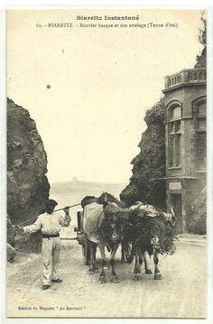 Bouvier basque et son attelage - Biarritz - Pays Basque - France