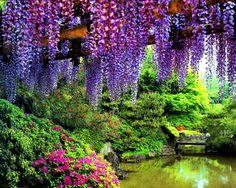 紫藤树 壁纸