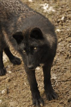 WSC wolves stock 20 by windfuchs on DeviantArt Wolf Images, Wolf Pictures, Wolf Photos, Beautiful Wolves, Beautiful Dogs, Baby Animals, Cute Animals, Wild Animals, Predator Hunting