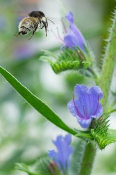 Der Blaue Natternkopf ist eine wunderschöne Wildblume für den Naturgarten. Eine Bienenweide  für trockene Standorte.