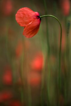 """/ Photo """"Poppies"""" by Mandy Disher Amazing Flowers, Wild Flowers, Beautiful Flowers, Red Poppies, Red Roses, Belle Plante, Agaves, Flower Backgrounds, Gerbera"""