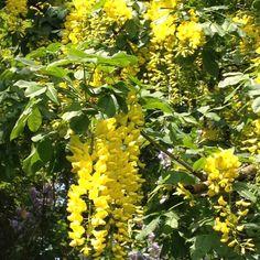 Hanging yellow flowers from large tree.  Langeland, Denmark.
