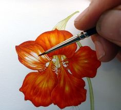 Lizzie Harper nasturtium botanical illustration step 8