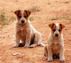 Australian Cattle Dog Red, Blue Heelers, Cattle Dogs, Red Dog, Dog Rules, Cute Puppies, Dog Breeds, Labrador Retriever, Corgi