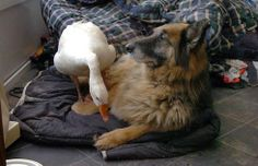 Rescued goose becomes best friend to troubled German Shepherd Dog (PHOTOS) » DogHeirs | Where Dogs Are Family « Keywords: goose, Puriton Horse and Animal Rescue, german shepherd dog