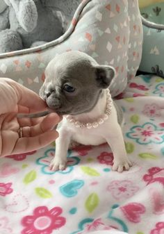 Cute Teacup Puppies, Super Cute Puppies, Baby Animals Super Cute, Cute Baby Dogs, Tiny Puppies, Cute Little Puppies, Cute Funny Dogs, French Bulldog Puppies, Cute Dogs And Puppies