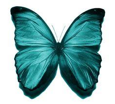 Coastal Teal Butterfly