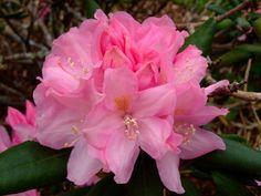 https://flic.kr/p/E7nako   Rhododendron   www.youtube.com/user/yewmchan/videos