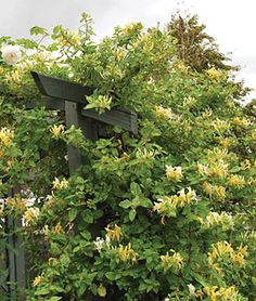 For the front of the house or for privacy in the backyard.  Honeysuckle, Mint Crisp fast growing vine, fragrant and Perenial