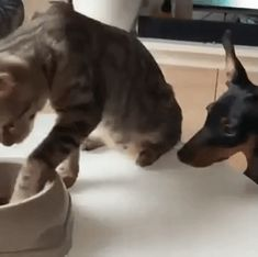 ⁣what has this world come to? a cat gave a dog a snack? #catfriendwithdog #cat #dog Cute Baby Animals, Funny Animals, Nocturnal Animals, Poor Dog, Der Arm, Cat Supplies, Funny Animal Videos, Cat Food, Cat Life