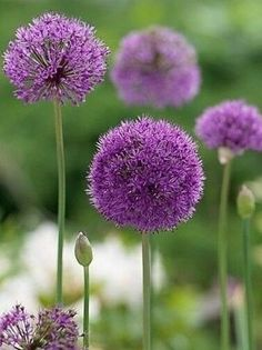 Plant these extraordinary spring-flowering bulbs in fall for a unique and colorful spring garden. Tulips are lovely, but these are unique! Garden Bulbs, Planting Bulbs, Shade Garden, Garden Plants, Indoor Plants, House Plants, Allium Flowers, Bulb Flowers, Spring Flowering Bulbs
