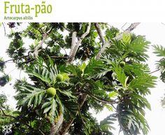árvore da fruta-pão - artocarpus altilis