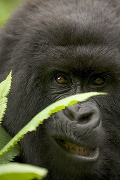 """""""I am going to scare the crap out of him"""" thought the plotting Mountain Gorilla."""