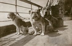 12 dogs were also onboard #Titanic, including a French bulldog, Pekinese and a Great Dane. Only 3 survived: a Pekinese and 2 Pomeranians, saved by their loving masters.