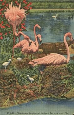 Flamingos nesting at Hialeah Park, Miami FL vintage postcard
