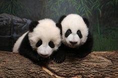 Can cute panda cubs save the Toronto Zoo? Panda Love, Cute Panda, Animals And Pets, Baby Animals, Cute Animals, Cute Tiger Cubs, Toronto Zoo, Toronto Canada, Panda Family